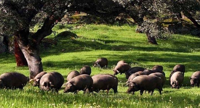 世界顶级黑猪:西班牙伊比利亚黑猪